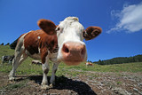 curious cow in the mountains photographed with fisheye lens