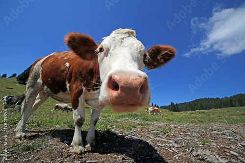 Poster curious cow in the mountains photographed with fisheye lens