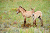 Przewalski horses in the Altyn Emel National Park in Kazakhstan.  The Przewalski's horse or Dzungarian horse, is a rare and endangered subspecies of wild horse native to the steppes of central Asia. T - 178421239