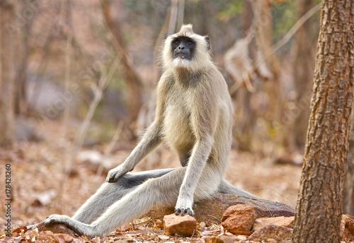 Aluminium Aap The Alpha Male Gray Langur South India