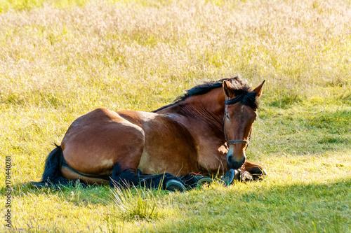 Pferd liegt in der Wiese Poster