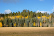 A forest of pine and aspen trees along the North Rim of the Grand Canyon in Arizona.