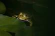 Frosch -