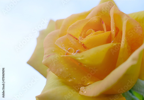 Fototapeta  rose yellow isolated on white background