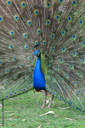 Fotobehang Pauw A male peacocok streching feathers.