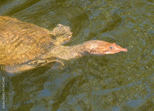 Fotobehang Schildpad tortue à carapace molle de floride apalone ferox
