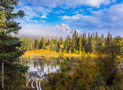 Aluminium Wolf Gray Canadian wolf in the Rockies of Canada