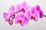 Pink orchid isolated on white background. Closeup. - 178483057