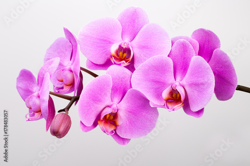 Fototapeta Pink orchid isolated on white background. Closeup.