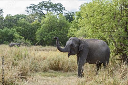 Sri Lankan Elephant - Elephas maximus maximus, Sri Lanka Poster