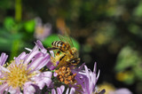 The European honey bee (Apis mellifera) pollinating Aster flower. Honey bee on autumn flowers in garden - 178522863