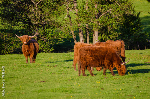 Scotland highland hairy red cows grazing at the green summer meadow, agricultura Poster