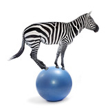 African zebra balancing on a ball. Funny animals isolated on white background. - 178540862