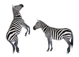 Two zebras playing. Funny animals isolated on white background. - 178540883