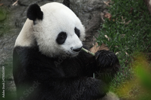 portrait of nice panda bear eating in summer environment Poster