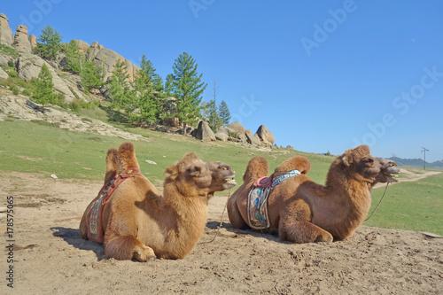Fotobehang Kameel Two dromedary camels in the Gorkhi-Terelj National Park in Mongolia