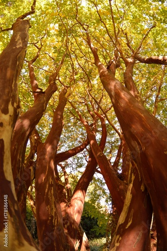 Fotobehang Rood paars tree botanical garden Virginia Beach autumn