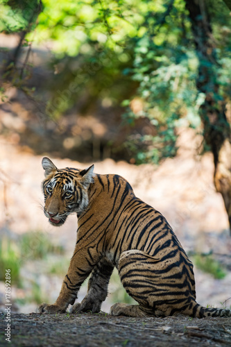 A tiger rcub from Ranthambore National Park, India Poster