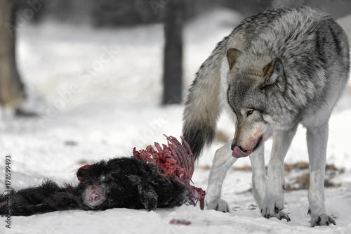 Aluminium Wolf Alpha Wolf on Carcass