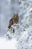 Long-eared owl - 178612463