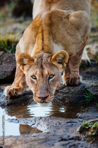 Fotobehang Natuur Female lion close up