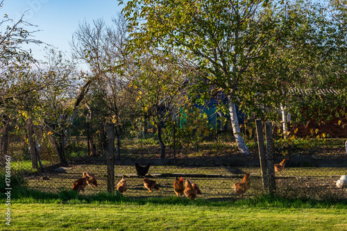 Fotobehang Herfst Autumn farm scene on a sunny day, live poultry, orchard, wire fence