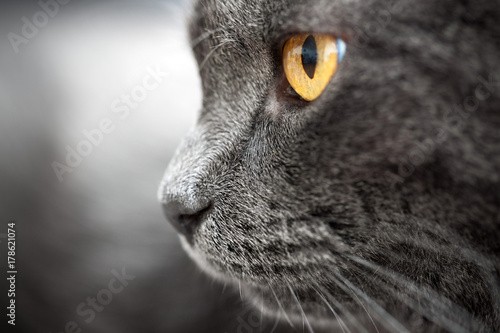 Closeup gray cat with amber eyes profile view Poster