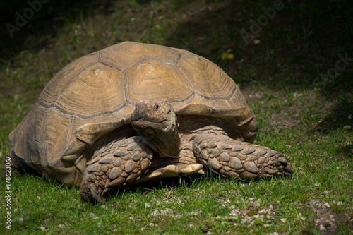 Fotobehang Schildpad Sulcata Tortoise