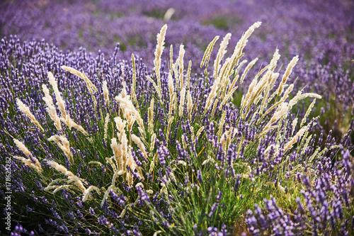 Papiers peints Lavande white flowers among lavender