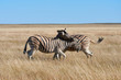 Two beautiful zebras fighting in the dry savannah of Namibia