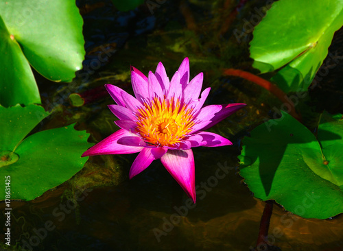 Pink lotus have leaf background in water Poster