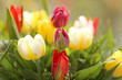 Tulip flower. bouquet of  multicolored tulips on a blurred background in the morning sun.