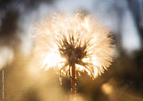 Fotobehang Paardebloemen Sun light dandelion