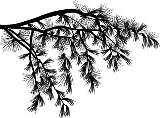 black pine branch with long needles isolated on white