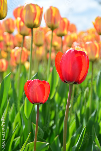 Fotobehang Tulpen Standing out from all the others