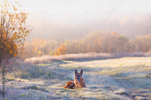 German shepherd dog lies on background of autumn landscape at dawn Poster