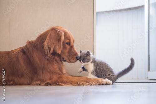 Golden Retriever and British shorthair cat | Buy Photos | AP Images