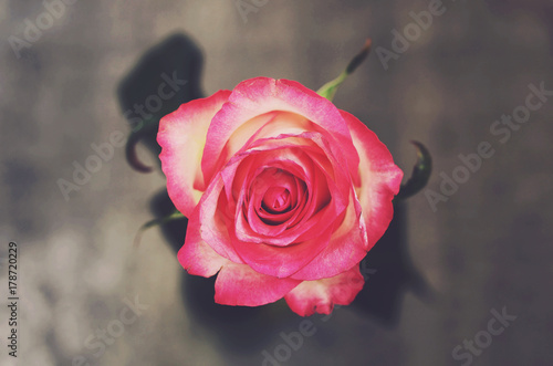 Fototapeta Pink rose flower on gray background, top view
