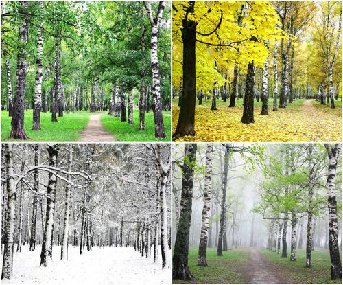 Papiers peints Bosquet de bouleaux Four seasons of row birch trees