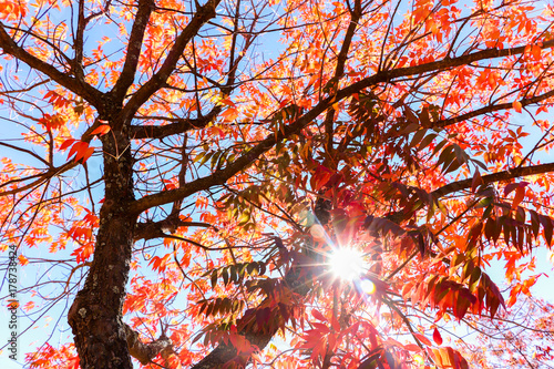 Foto op Plexiglas Bruin Tree With Red Leaves and Blue Sky Light