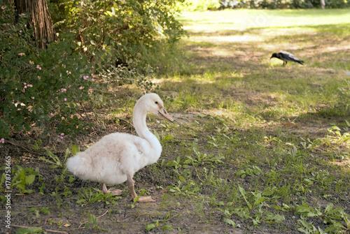 Fotobehang Zwaan little swan posing