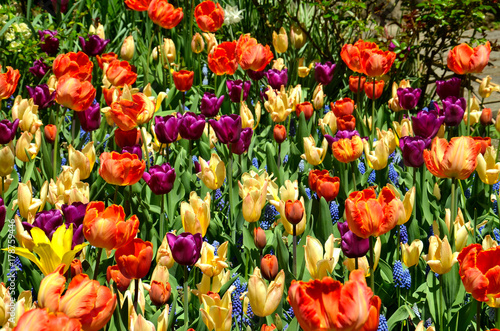 Fotobehang Tulpen Vivid Red, Yellow and Orange Petals on a Field of Tulips