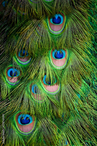 Fotobehang Pauw Peacock Feathers