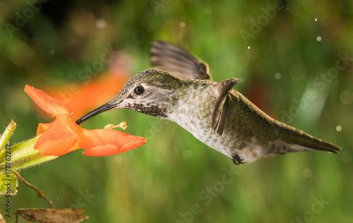 Hummingbird profil i małpa kwiaty