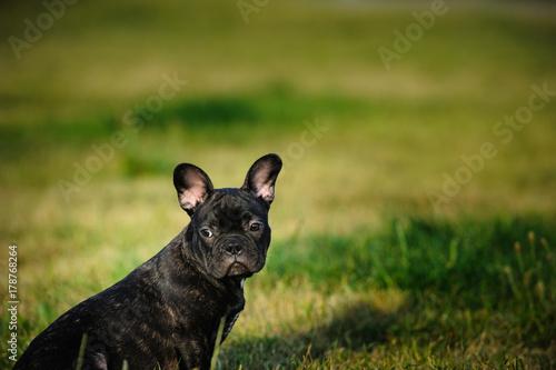 Deurstickers Franse bulldog French Bulldog puppy outdoor portrait in green field