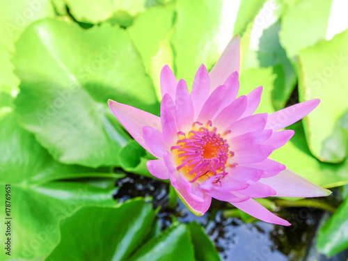 pink lotus blooming with green leaf background Poster