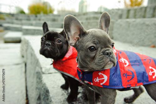 Papiers peints Bouledogue français Two French Bulldogs outdoor portrait wearing raincoats