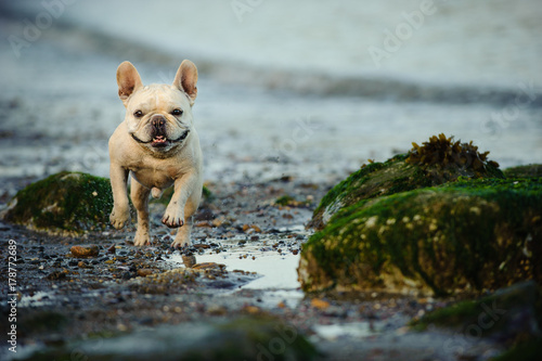 Canvas Franse bulldog French Bulldog running through rocks on beach