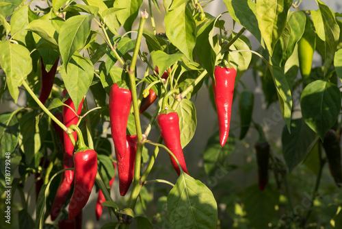 Papryka chili. Poster