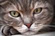 Closeup of european shorthair tabby cat, closeup